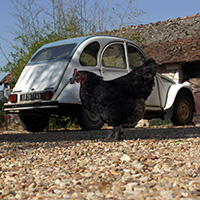 One of our chickens and Fifi, our 2CV.