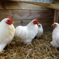 Our bantam chickens